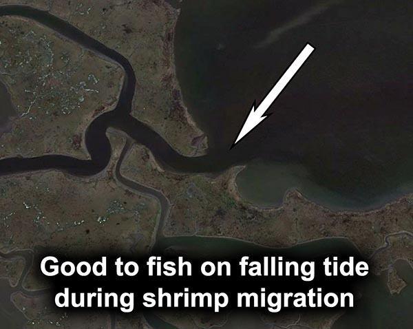 crooked bayou shrimp migration falling tide