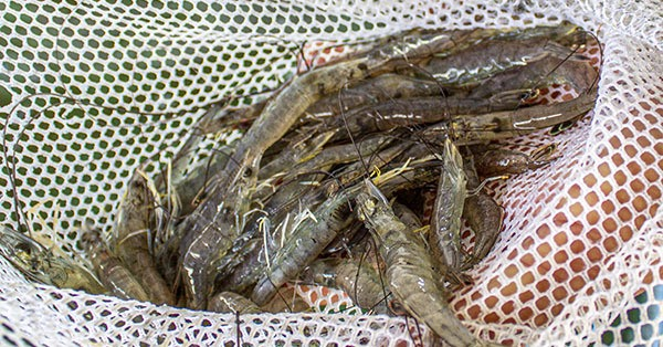Keep Shrimp Alive With These Five Simple Steps Louisiana Fishing Blog